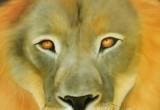 Löwen-Augen Bildvorlage von Mark B. Williams